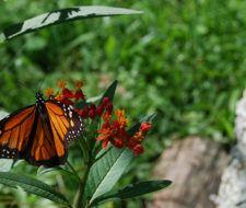 La tala ilegal en México está amenazando el hábitat de la Mariposa Monarca