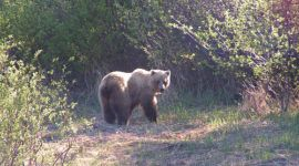 Amenazan a los osos pardos con dejar de considerarlos amenazados