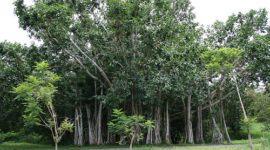 Cuba superó el objetivo: plantó más de 136 millones de árboles