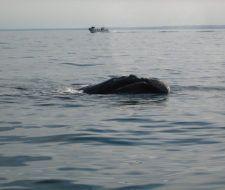 Un buque de la Armada argentina mata a una ballena