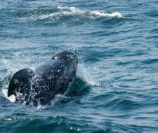Mueren 150 ballenas en Australia
