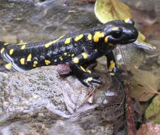 Descubren una salamandra del tamaño de una uña