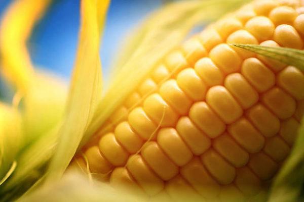 Alimentos contaminan maiz