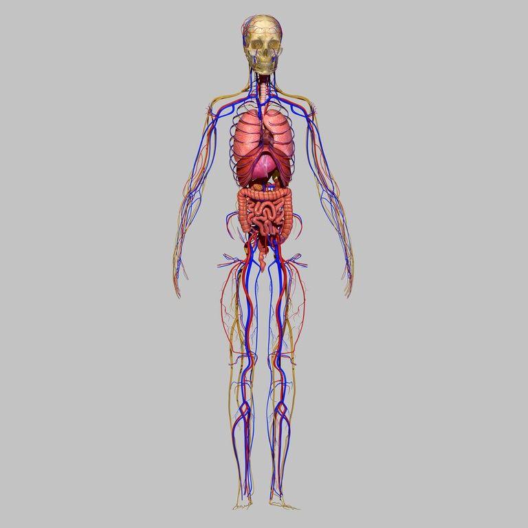 Tipos de sistemas nerviosos en invertebrados y su diferencia con el ...