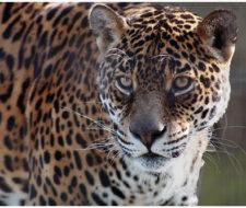 Esfuerzos para salvar al yaguareté de su extinción