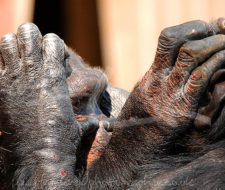Ha desaparecido el 90 por ciento de la población de chimpancés en 18 años