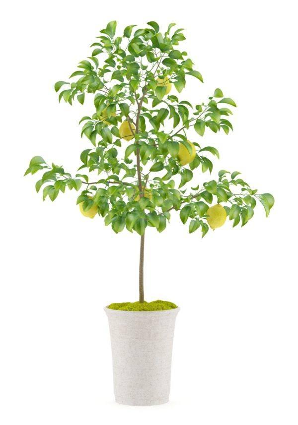 Como hacer un bonsai de limonero