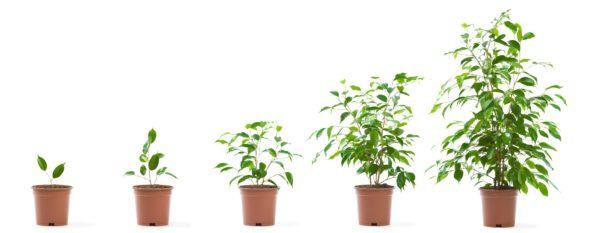 Como hacer un bonsai de limonero macetas