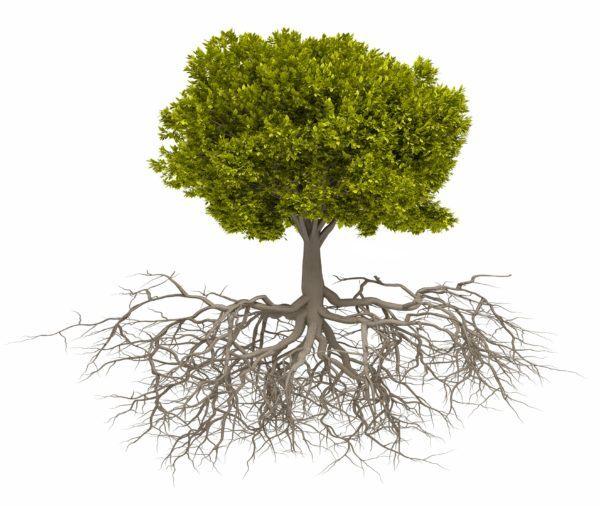 Como hacer un bonsai paso a paso raiz