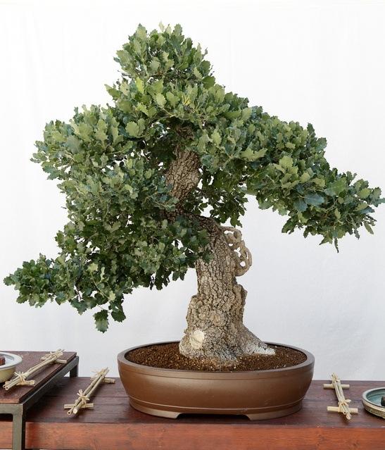 Como un bonsai good arte with como un bonsai beautiful - Como cuidar un bonsai ...