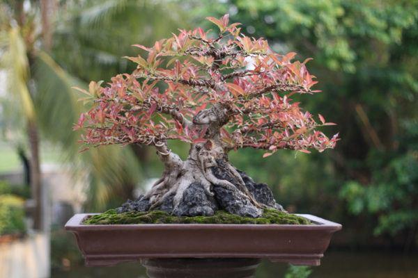 Conseguir bonsai de higuera