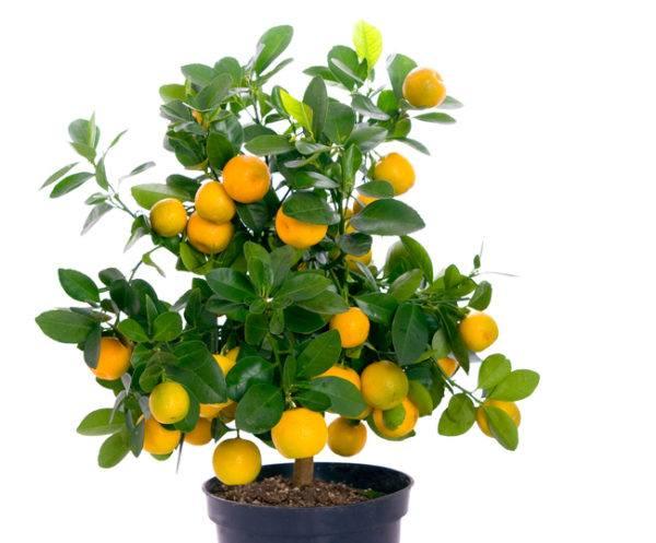 Conseguir bonsai naranjo