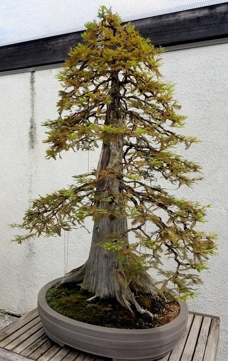 Conseguir bonsai pino