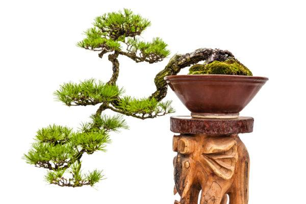 Conseguir bonsai roble