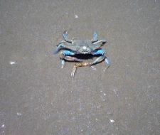 El cangrejo azul de Maracaibo se extingue por culpa del hombre