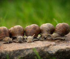 Eliminar de forma ecológica las plagas de babosas o limacos y caracoles