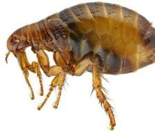 Picaduras de pulgas: cómo reconocerlas (síntomas), tratamiento y remedios caseros