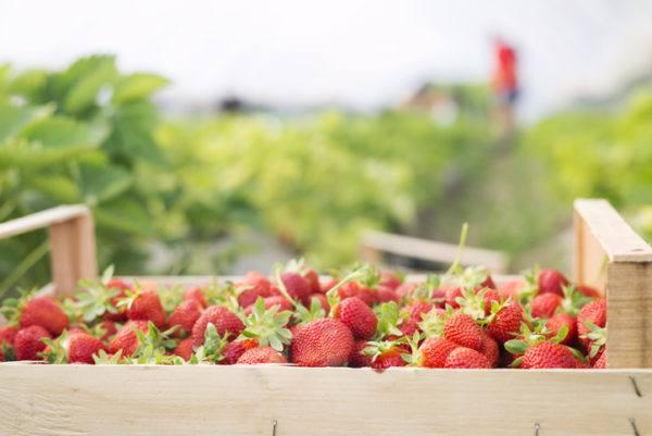 Agricultura ecologica beneficios fresas