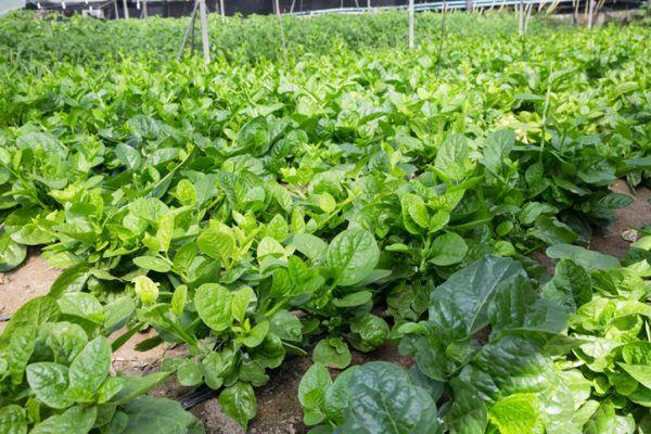 Agricultura ecologica beneficios lechugas