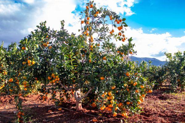 Agricultura ecologica beneficios naranjos