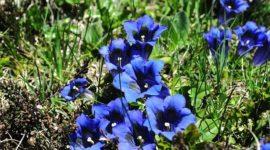 Genciana – Cultivo, cuidados y propiedades de la planta