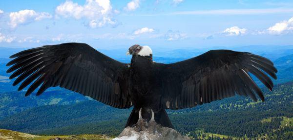 Los 10 seres vivos mas grandes del planeta condor