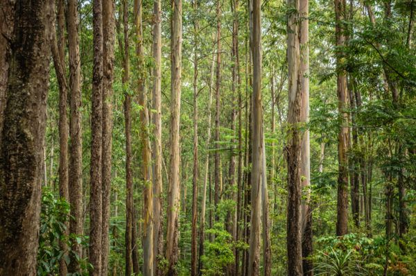 Los 10 seres vivos mas grandes del planeta eucaliptos