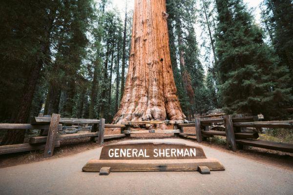 Los 10 seres vivos mas grandes del planeta general sherman
