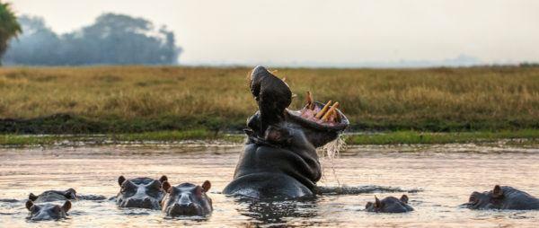 Los 10 seres vivos mas grandes del planeta hipopotamo