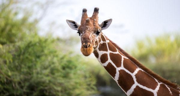 Los 10 seres vivos mas grandes del planeta jirafa