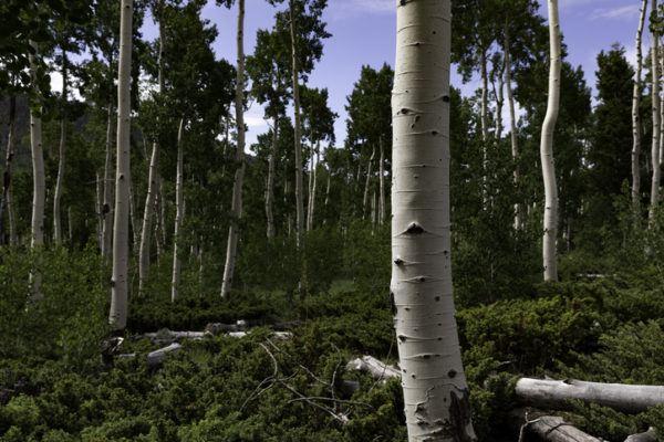 Los 10 seres vivos mas grandes del planeta pando