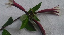 Quina, planta nacional de Perú, en peligro