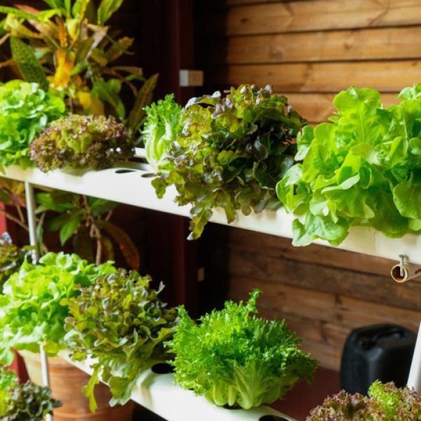 Que es el cultivo hidroponico casero
