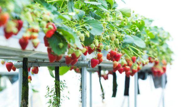 Que es el cultivo hidroponico cultivo fresas