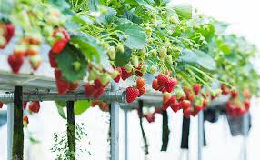 Que es el cultivo hidroponico cultivo