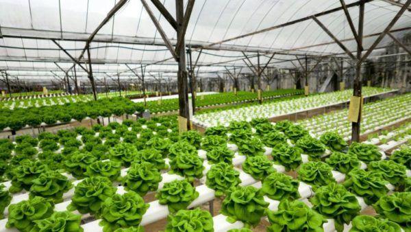 Que es el cultivo hidroponico