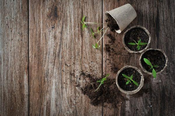 Como germinar semillas de tomate