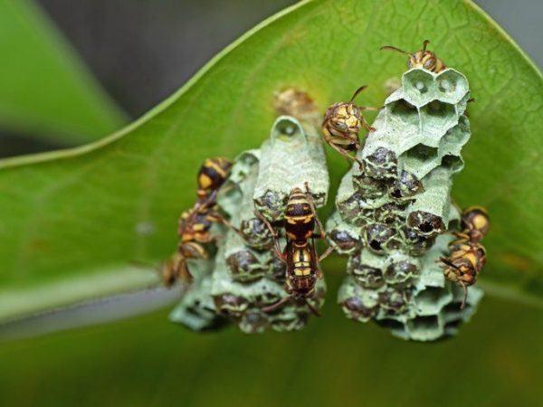 Avispa asiatica como es zona de extension peligros colmena