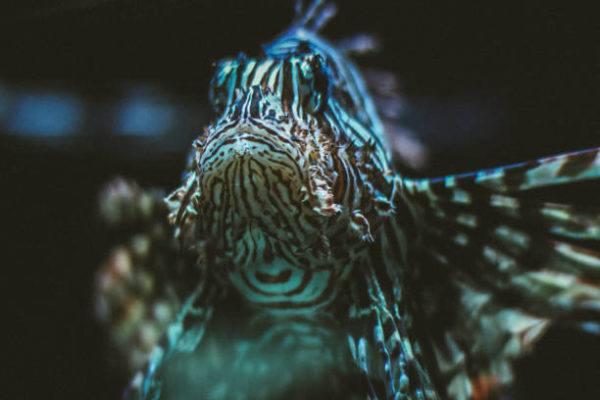 Las picaduras de los animales marinos pez araña