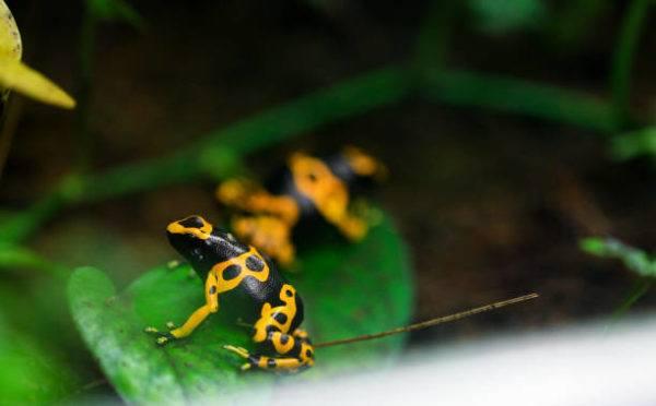 Fauna amazonas anfibios