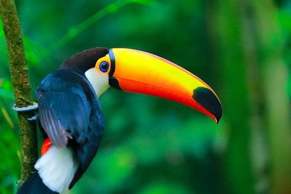 Fauna amazonas ave