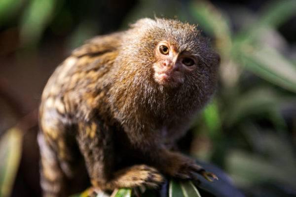 Fauna amazonas titi