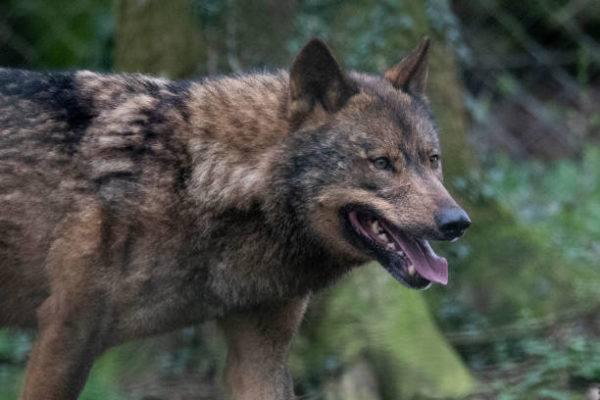 La fauna autoctona de espana lobo