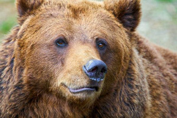 La fauna autoctona de espana oso