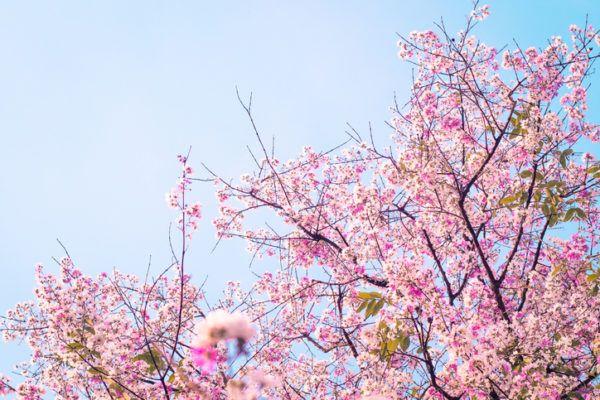 La primavera flor de cerezo