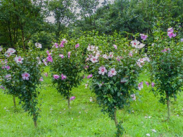 Los arboles mas pequenos del mundo Hibiscus Syriacus