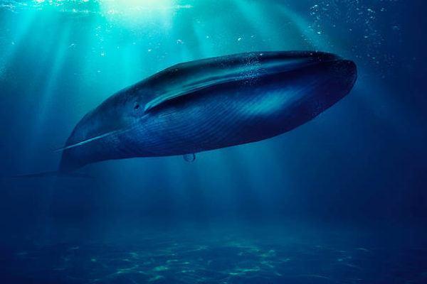 Asi suena el corazon de una ballena azul grabado por cientificos