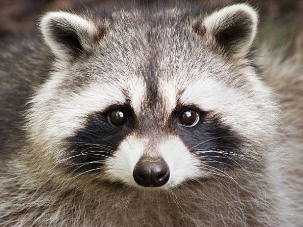 Cuales son las especies invasoras en espana mapache