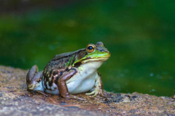 Cuales son las especies invasoras en espana rana toro