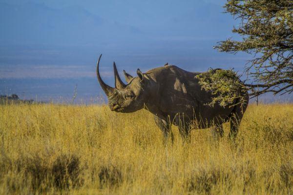Cuales son los animales extinguidos de la ultima decada rinoceronte